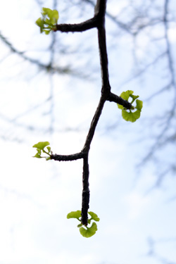 140415_ginkgo_leaves.jpg
