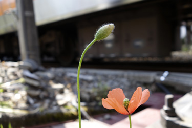 140514_poppy.jpg