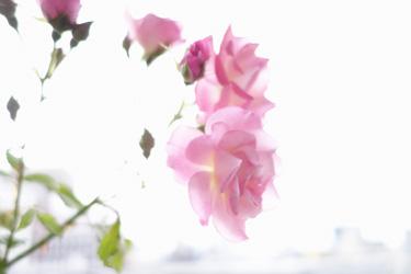 140604_roses.jpg