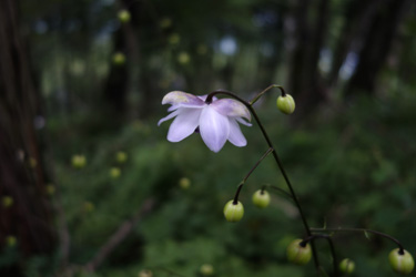 140705_Anemonopsis_macrophylla.jpg