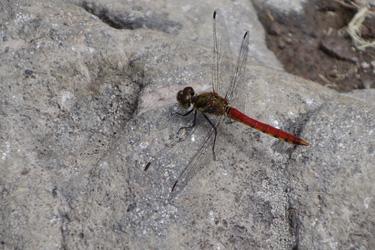 140716_red_dragonfly.jpg