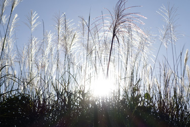 140729_pampus_grass.jpg