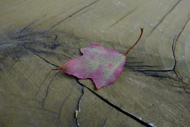 140825_fallen_leaf.jpg
