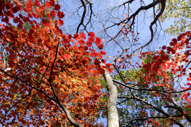 141027_maple_leaves.jpg