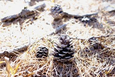 141101_pinecones.jpg