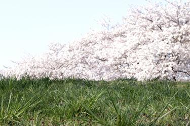 150401_sakura_hill.jpg