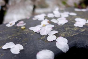 150403_sakura_petals.jpg