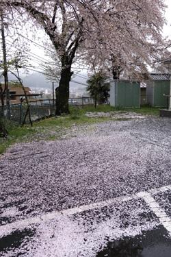 150406_sakura_parking.jpg