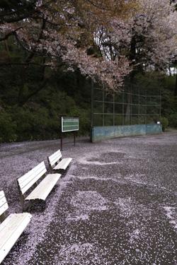 150410_sakura_groundb.jpg