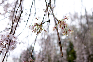 150414_rainy_sakura.jpg
