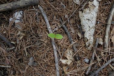 150507_young_leaf.jpg