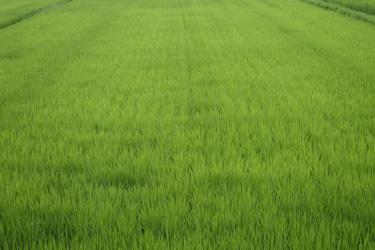 150701_rice_field.jpg