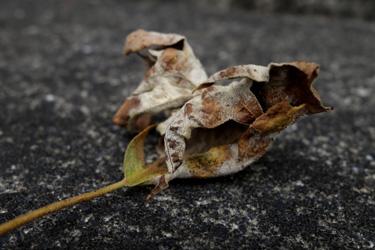 150705_dead_leaf.jpg