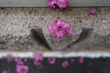 150826_fallen_flowers.jpg
