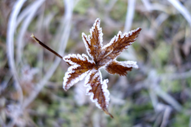 150918_frozen_leaf.jpg