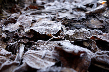 150921_frozen_fallen_leaves.jpg