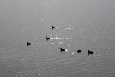 151106_ducks.jpg