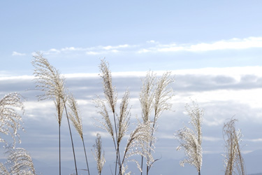 151201_pampas_grass.jpg