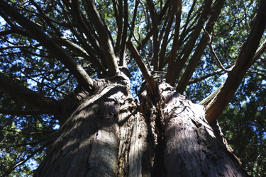 151203_twin_trees.jpg