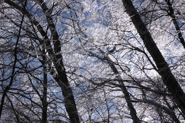 160205_ice_forest.jpg
