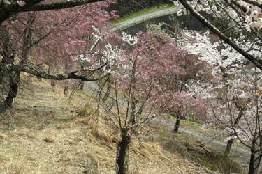160401_sakura_road.jpg