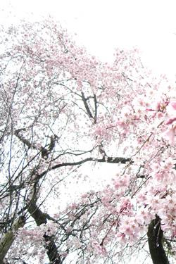 160402_dancing_sakura.jpg