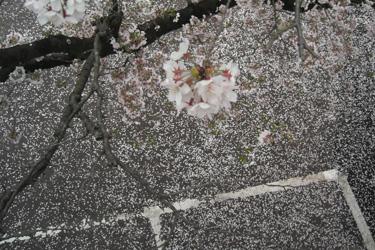160407_sakura_parking.jpg