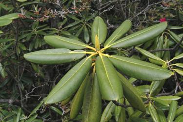 160521_rhododendron.jpg