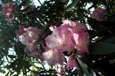 160527rhododendron.jpg