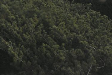 160530_creeping_pine.jpg