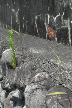 160628_pampas_grass.jpg