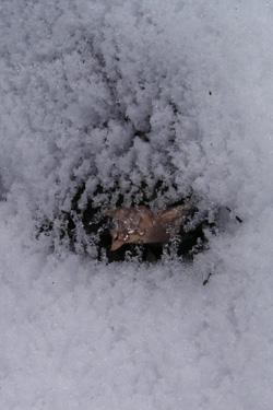 170121_snow_leaf.jpg