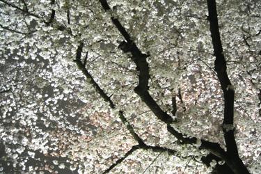 170411_fully_sakura.jpg