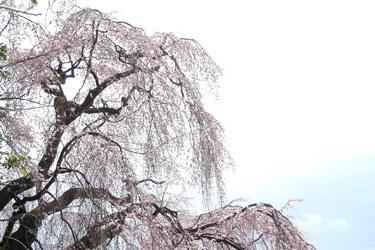 170413_old_sakura.jpg