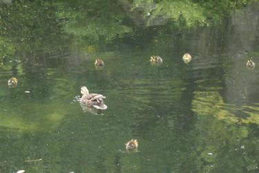 170619_ducks.jpg