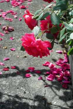 170628_roses.jpg