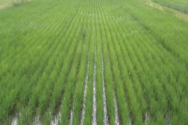 170704_rice_field.jpg