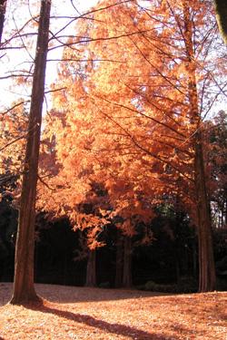 171108_Metasequoia.jpg
