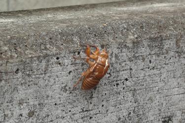 2013.08.02_cicada.jpg