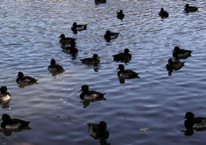 Tufted Ducks.jpg