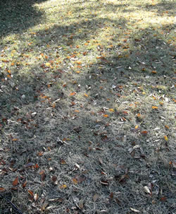 fallen leaves on the grass.jpg