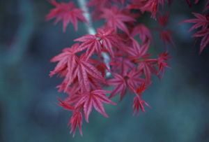 red maple leaves.JPG
