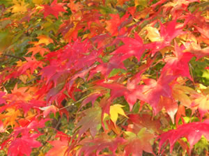 scarlet-tinged leaves.jpg