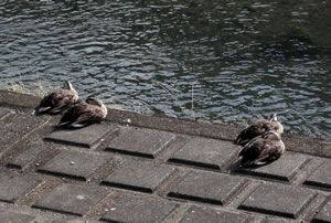 sleeping ducks.jpg