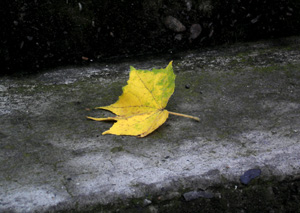 withered leaf.JPG