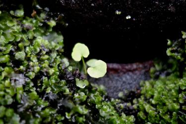 140621_twin_leaves.jpg