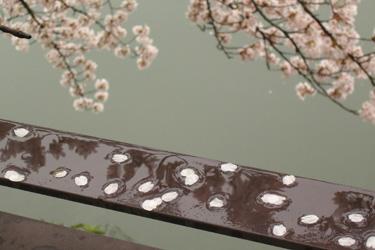 120411_rainy_sakura.jpg